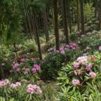 斜面に咲く石楠花