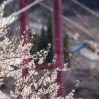 梅と吊り橋