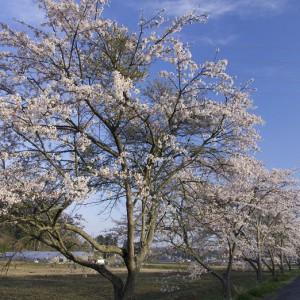 藺生の桜並木
