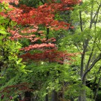 新緑に混じる紅葉