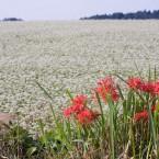 ヒガンバナとソバ畑