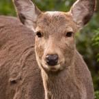 鹿は食べない。