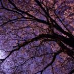 月光下の桜