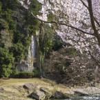 磨崖仏と桜
