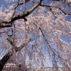 伝承館の桜