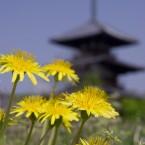 春の法起寺