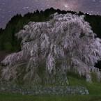夜明け前の又兵衛桜