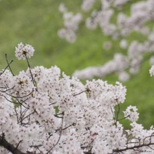 高田の千本桜