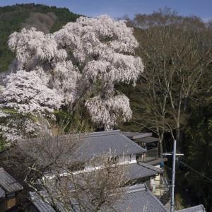 大照寺跡枝垂桜