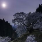 月夜の千年桜