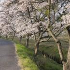 800mの桜並木