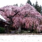 枝垂桜に積雪