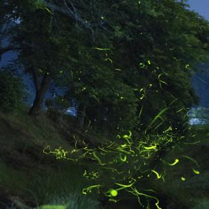 藺生の桜並木(ホタル)