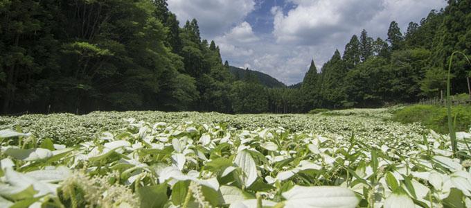 岡田の谷の半夏生