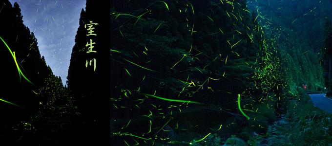 室生川のホタル