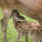 甘えん坊の子鹿