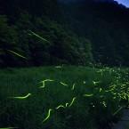 笠間川の蛍