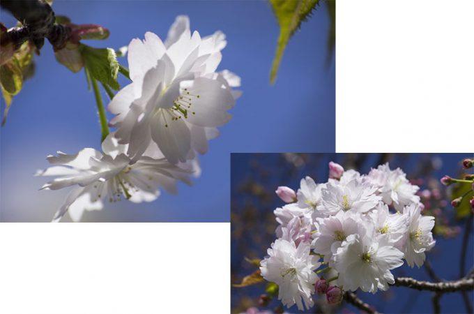 naranoyaezakura
